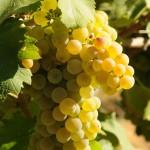 la pioppa la nostra uva bianca
