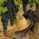 la pioppa la nostra uva nera